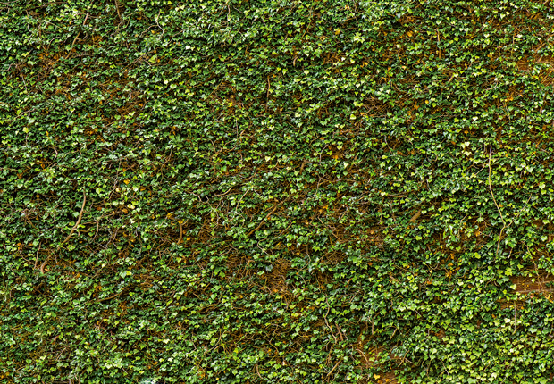 Fotomural Ivy wall